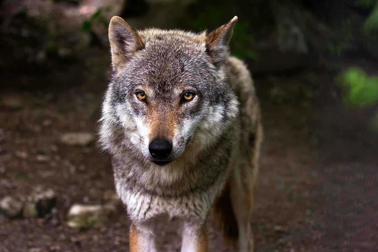 Erste Lösung Abschuss: Der Wolf und seine politischen Feinde