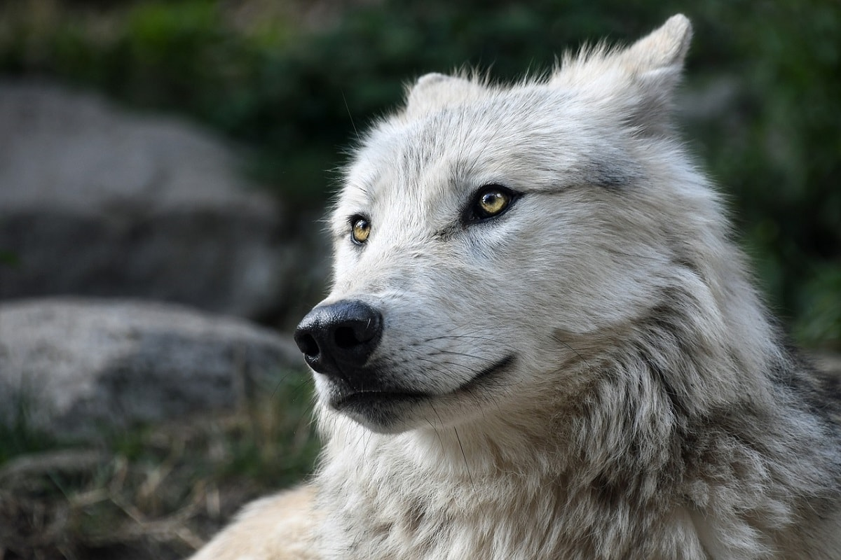 Ein Wolf mit weißem Fell. (Foto: Christels, pixabay.com, CC0 Creative Commons)